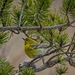 Pine Warbler - Phil Odum