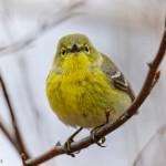 Pine Warbler courtesy of Phil Odum