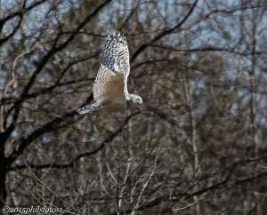 Snowy Owl by Phil Odum taken 4/14/2015