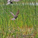 Black Terns investigating trap with eggs