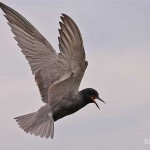 Black Tern - Tawas Lake