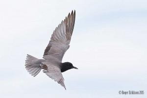 Black Tern over Tawas Lake - Roger Erikkson
