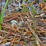 Black Tern nest with green-brown eggs - Tawas Lake