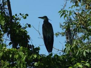 Blue Heron-SDuncan