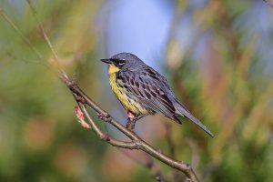 Kirtland's Warbler by Phil Odum of Oscoda
